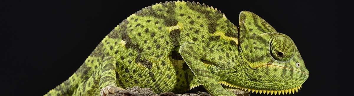buy iguanas buy dog, puppies, buy kittens in las vegas at petland pet stores in las vegas, pet supplies in las vegas