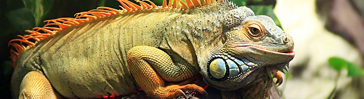 buy iguanas in Las Vegas, NV
