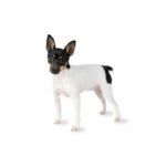 Petland Las Vegas, NV Toy Fox Terrier