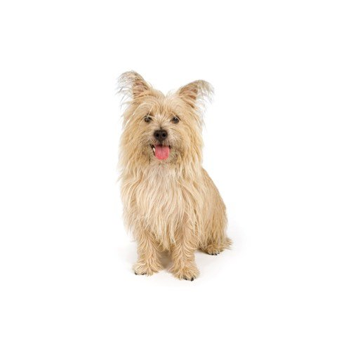 Best Dog Food For Cairn Terriers