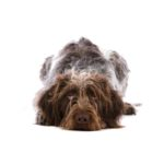 Petland Las Vegas, NV German Wirehaired Pointer