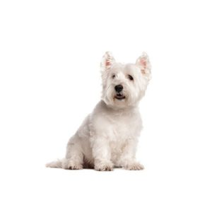 West Highland Terrier Puppies - Petland Las Vegas, NV