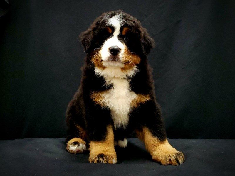 Bernese Mountain Dog-Male-Black Rust and White-2597381-Petland Las Vegas, NV
