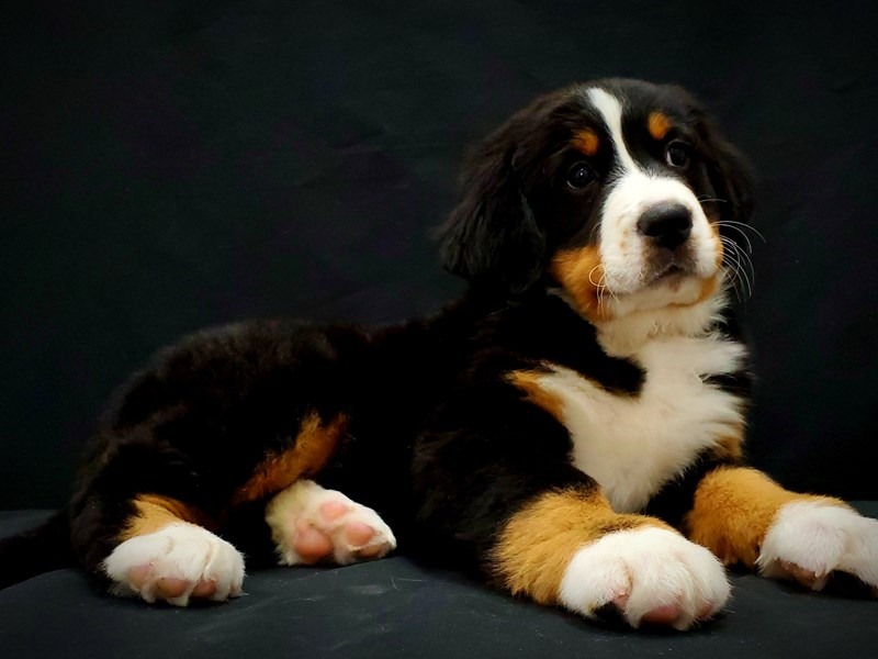 Bernese Mountain Dog-Female-Black Rust and White-2597318-Petland Las Vegas, NV