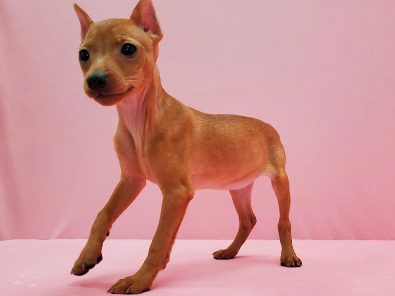 Miniature Pinscher-Female-Red-2619341-Petland Las Vegas, NV