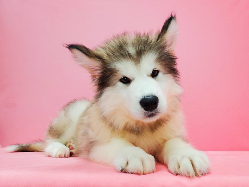 Alaskan Malamute-Female-Sable / White-2649361-Petland Las Vegas, NV