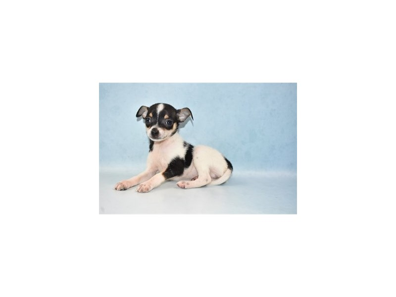 Chihuahua-Male-Black and Tan-2625875-Petland Las Vegas, NV