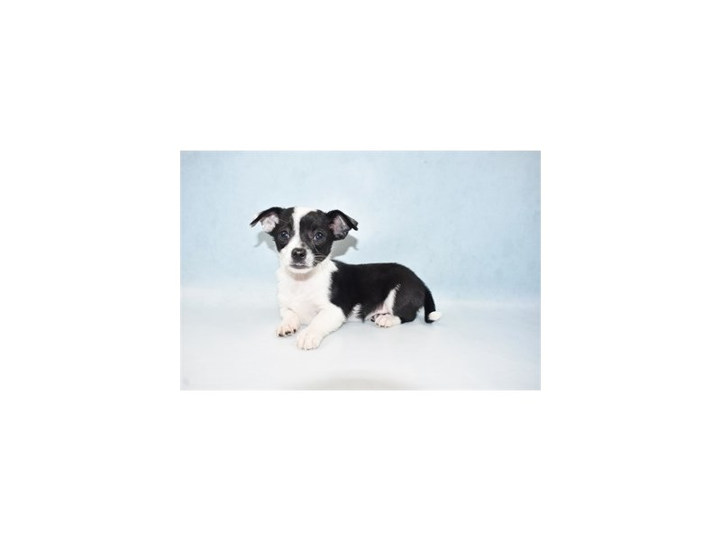 Chihuahua-Male-Black and White-2633809-Petland Las Vegas, NV