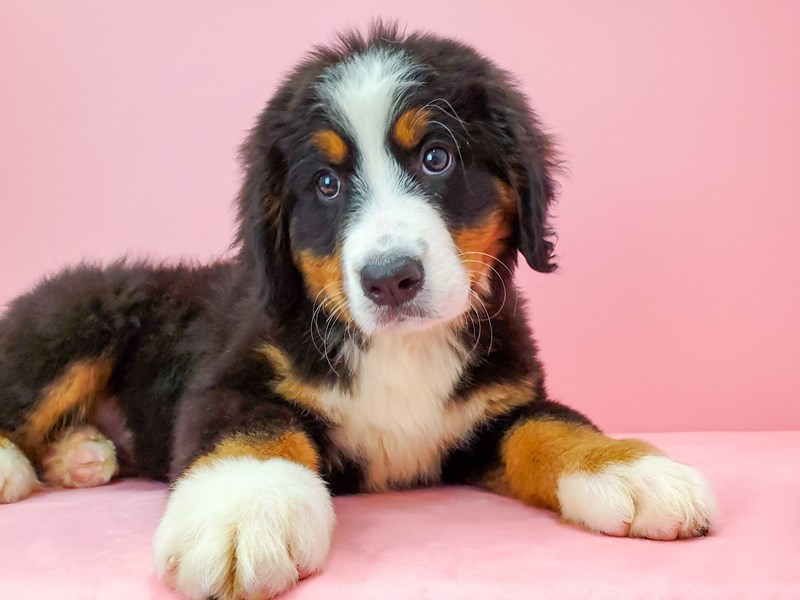 Bernese Mountain Dog-Female-Black Rust and White-2680627-Petland Las Vegas, NV