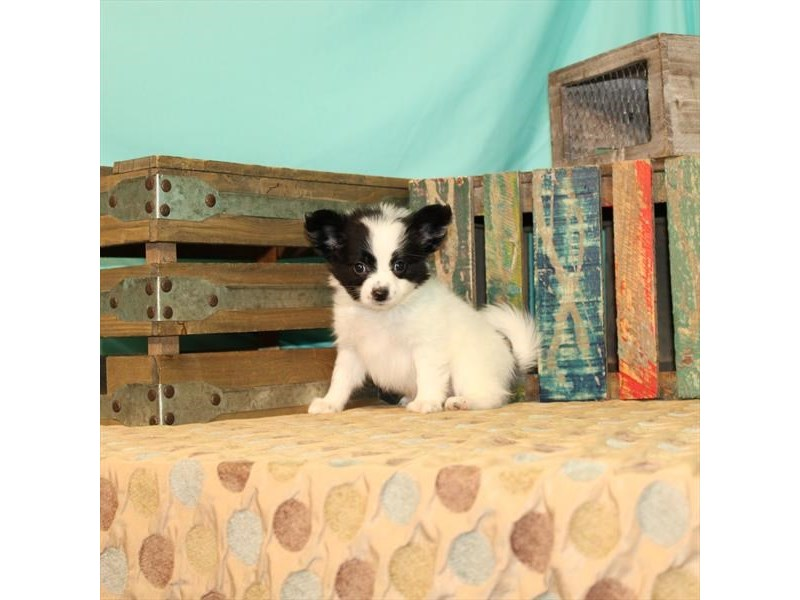 Papillon-Male-White / Black-2702876-Petland Las Vegas, NV