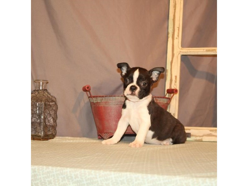 Boston Terrier-Female-Black Brindle-2702879-Petland Las Vegas, NV