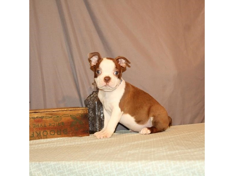 Boston Terrier-Male-Seal-2702880-Petland Las Vegas, NV