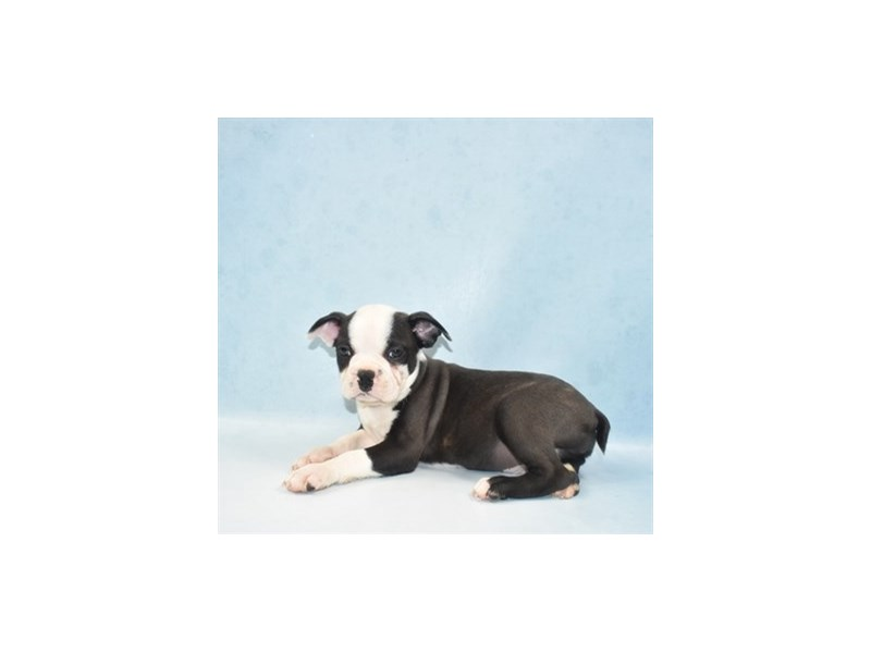 Boston Terrier-Male-Black Brindle and White-2707183-Petland Las Vegas, NV