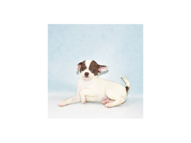 Chihuahua-Male-Chocolate and White-2713630-Petland Las Vegas, NV