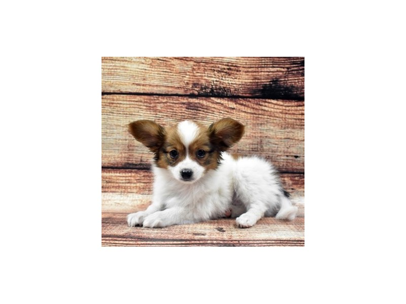 Papillon-Female-White and Sable-2754882-Petland Las Vegas, NV