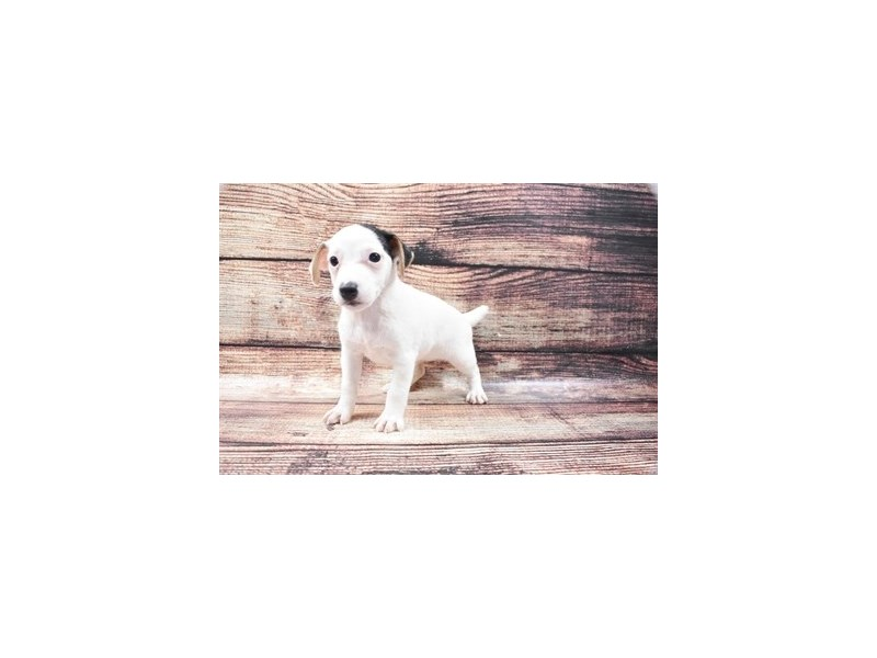 Jack Russell Terrier-DOG-Female-White Black and Brown-2788352-Petland Las Vegas, NV