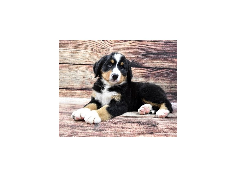 Bernese Mountain Dog-Female-Black Rust and White-2794425-Petland Las Vegas, NV