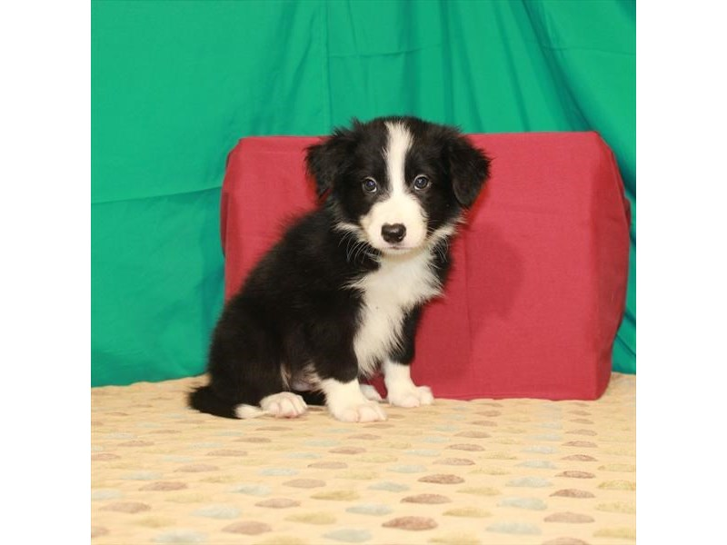 Border Collie-Male-Black-2809723-Petland Las Vegas, NV