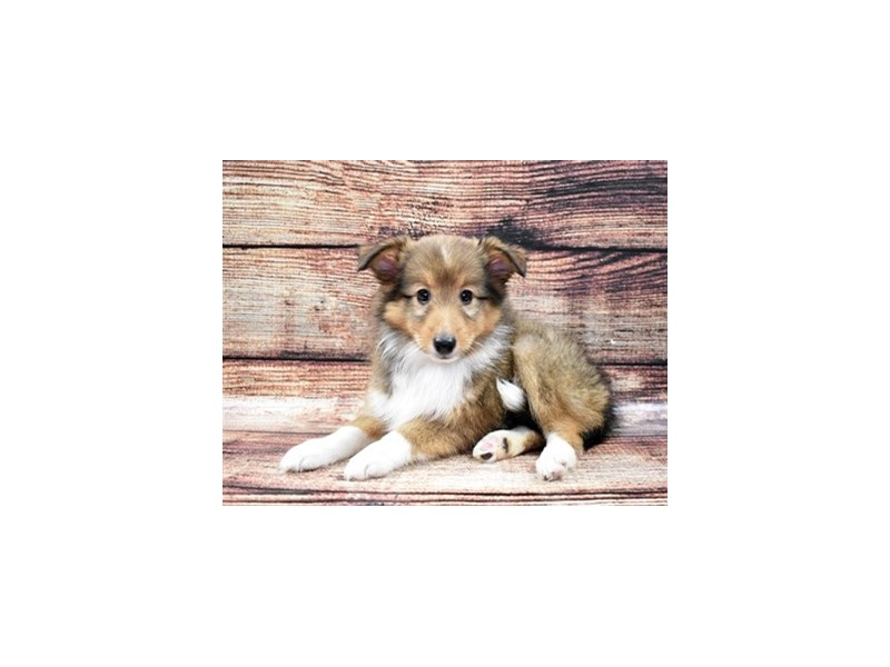 Shetland Sheepdog-Male-Sable and White-2788456-Petland Las Vegas, NV