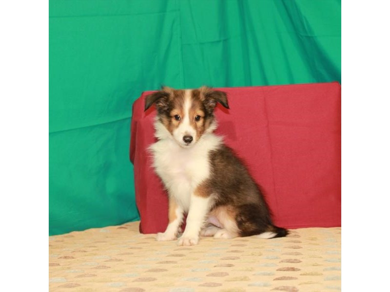Shetland Sheepdog-Male-Sable / White-2802580-Petland Las Vegas, NV