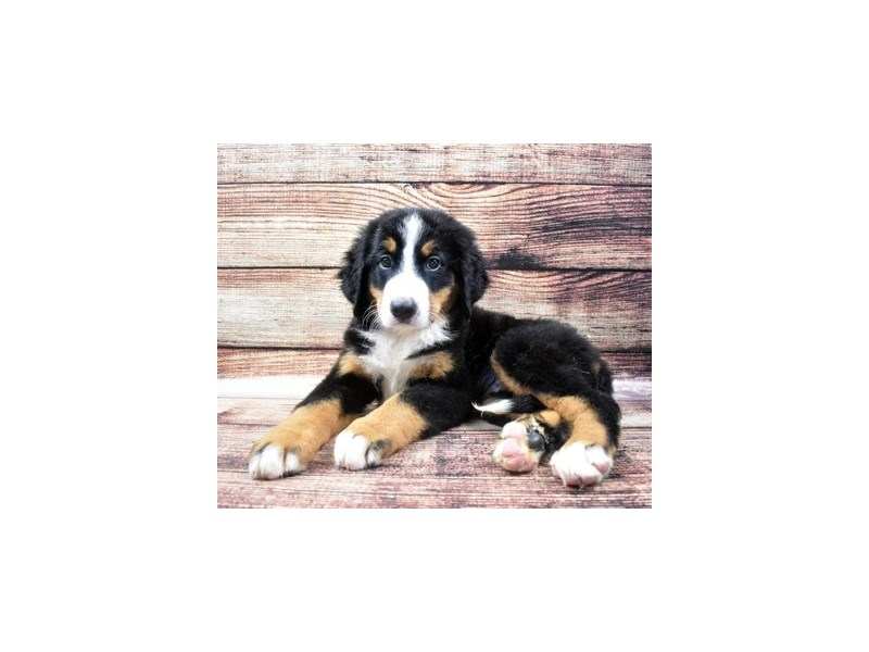 Bernese Mountain Dog-Male-Black Rust and White-2809990-Petland Las Vegas, NV
