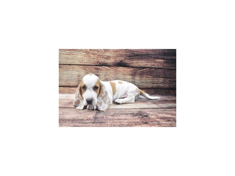 Basset Hound-Male-Red and White-2818346-Petland Las Vegas, NV