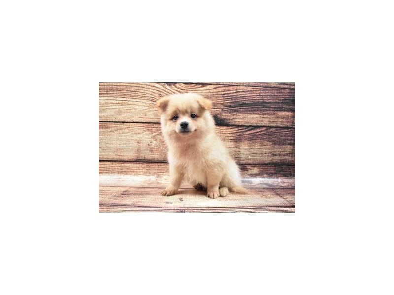 Pomeranian-Male-Orange-2825990-Petland Las Vegas, NV