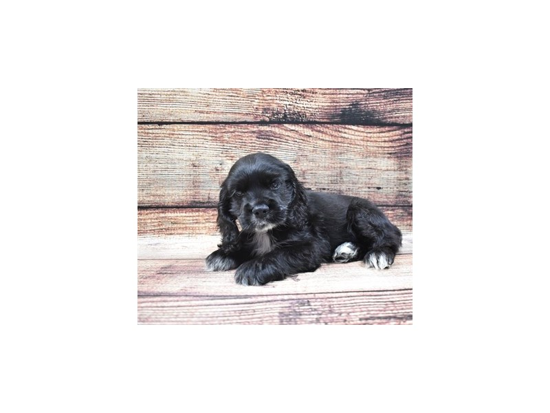 Cocker Spaniel-Male-Black-2826025-Petland Las Vegas, NV