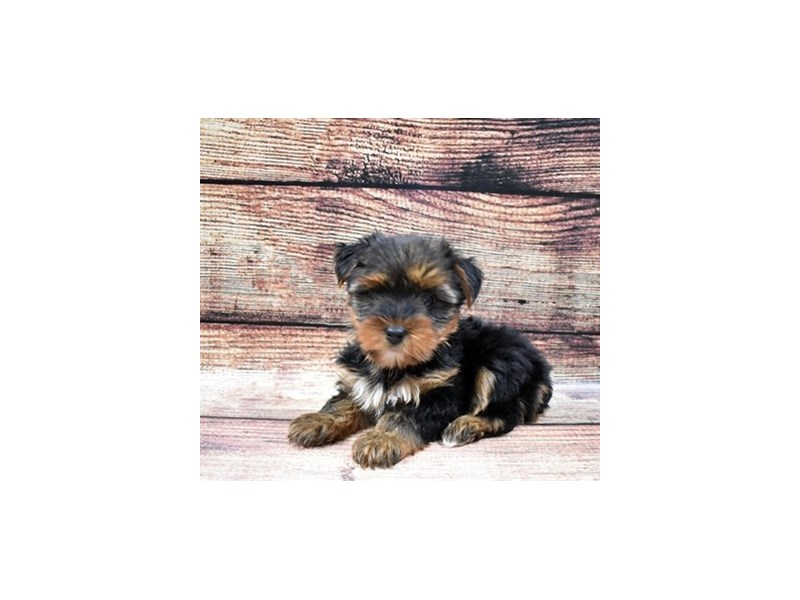 Yorkshire Terrier-Female-Black and Gold-2844962-Petland Las Vegas, NV