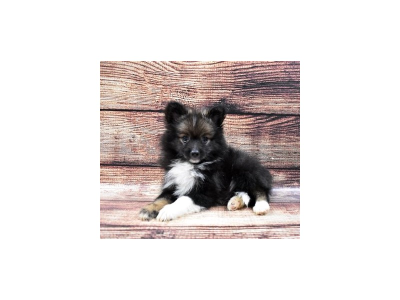 Pomeranian-Male-Black and Tan-2794471-Petland Las Vegas, NV