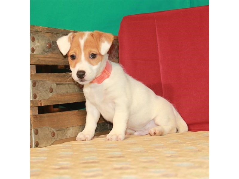 Jack Russell Terrier-Male-White / Red-2809855-Petland Las Vegas, NV
