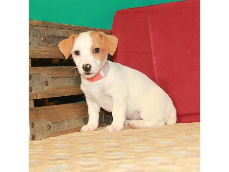 Jack Russell Terrier-Male-White / Red-2809856-Petland Las Vegas, NV