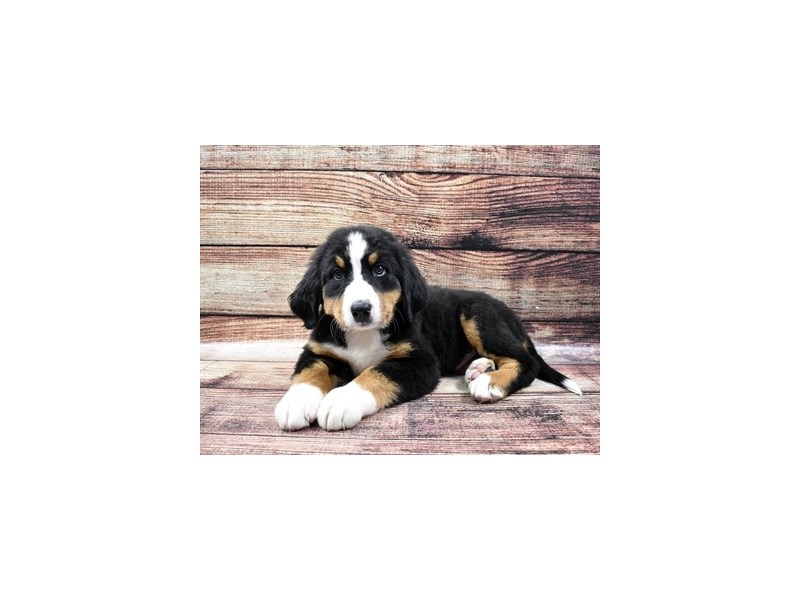 Bernese Mountain Dog-Male-Black Rust and White-2855697-Petland Las Vegas, NV