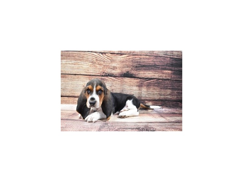 Basset Hound-Male-Black White and Tan-2855769-Petland Las Vegas, NV