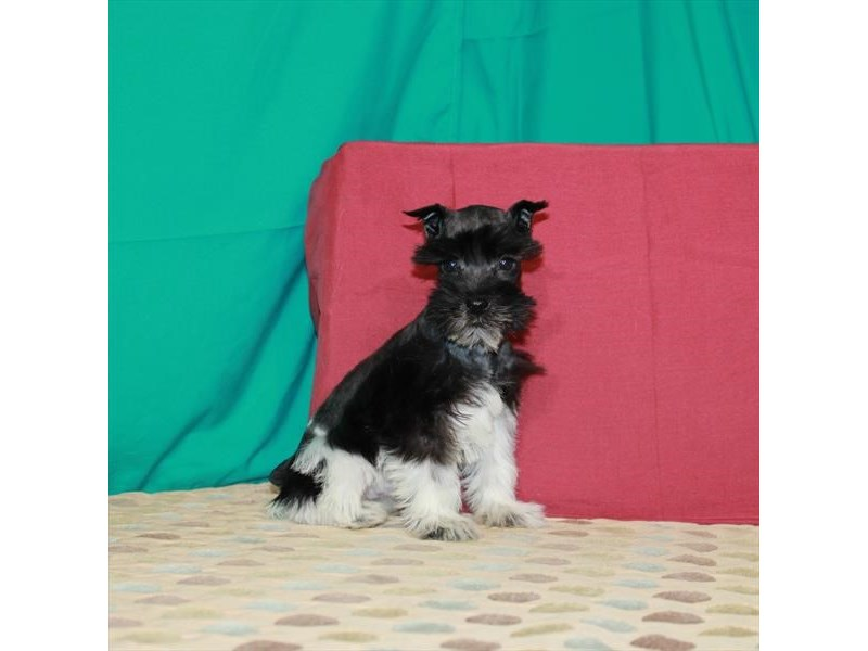 Miniature Schnauzer-Female-White / Black-2863905-Petland Las Vegas, NV