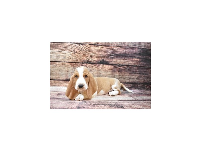 Basset Hound-Male-Lemon and White-2870513-Petland Las Vegas, NV