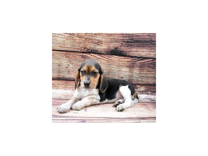 Beagle-DOG-Female-Black and Tan-2870617-Petland Las Vegas, NV