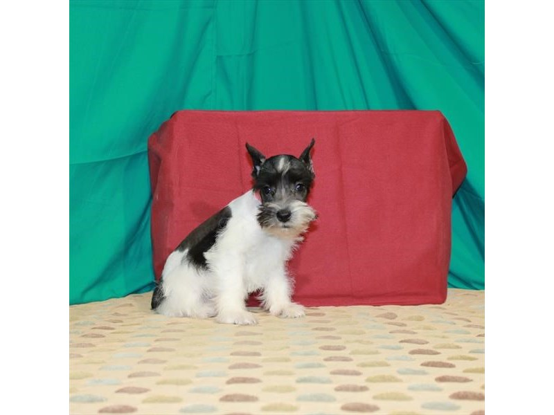 Miniature Schnauzer-Male-Black / White-2871587-Petland Las Vegas, NV