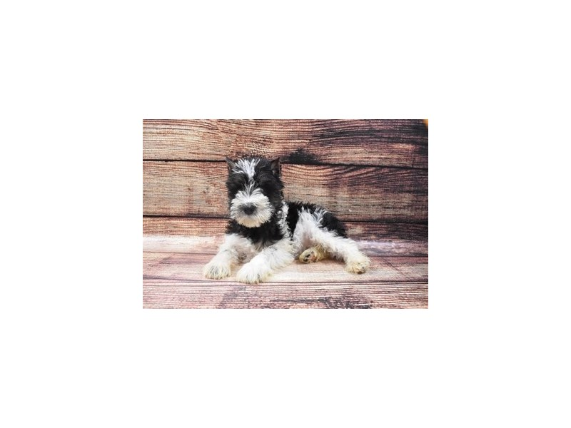 Miniature Schnauzer-Male-Black and Silver-2876084-Petland Las Vegas, NV
