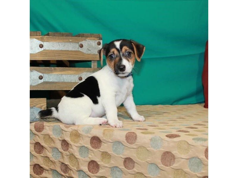 Jack Russell Terrier-Male-White Black / Tan-2879490-Petland Las Vegas, NV