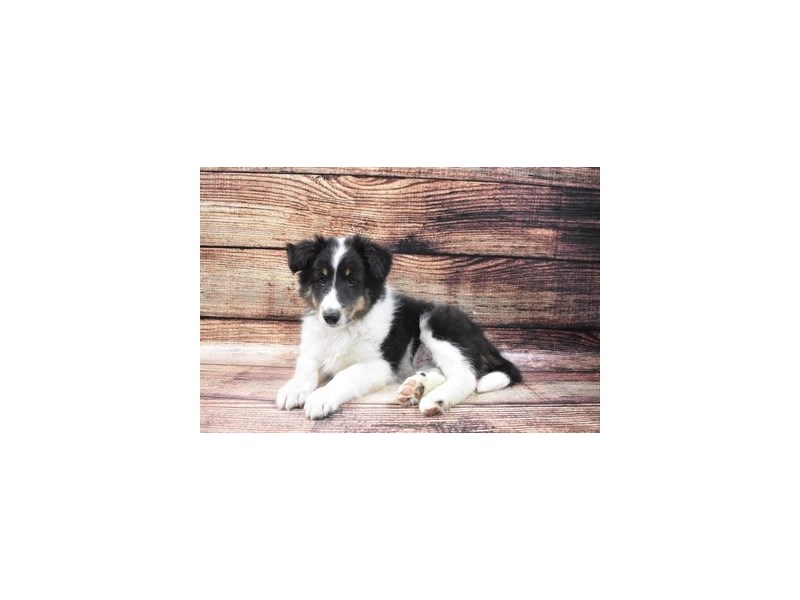 Shetland Sheepdog-Male-Black White and Tan-2883639-Petland Las Vegas, NV
