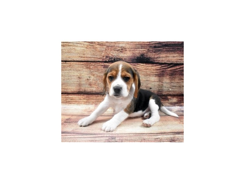 Beagle-Male-Black Fawn and White-2890663-Petland Las Vegas, NV
