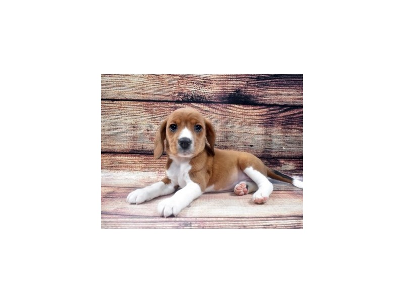 Beagle-Male-Brown and White-2890664-Petland Las Vegas, NV