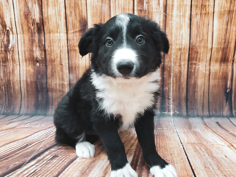 Border Collie-Female-Black-2897270-Petland Las Vegas, NV
