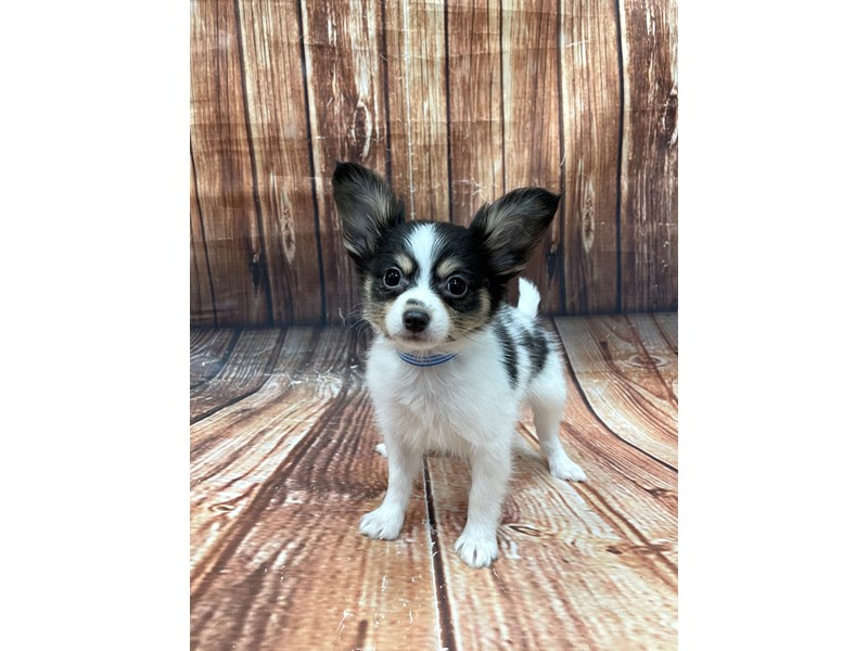 Papillon-DOG-Male-White Black / Tan-2905317-Petland Las Vegas, NV
