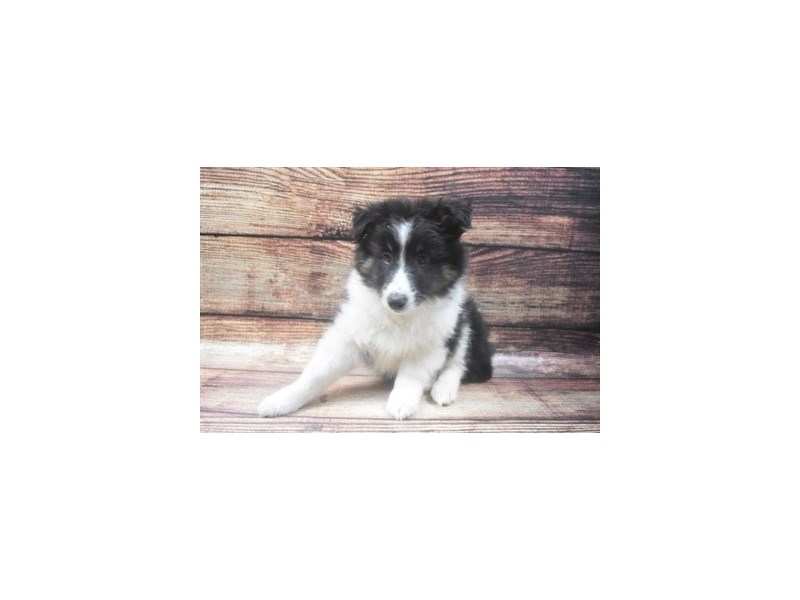 Shetland Sheepdog-Male-Black White and Tan-2898208-Petland Las Vegas, NV