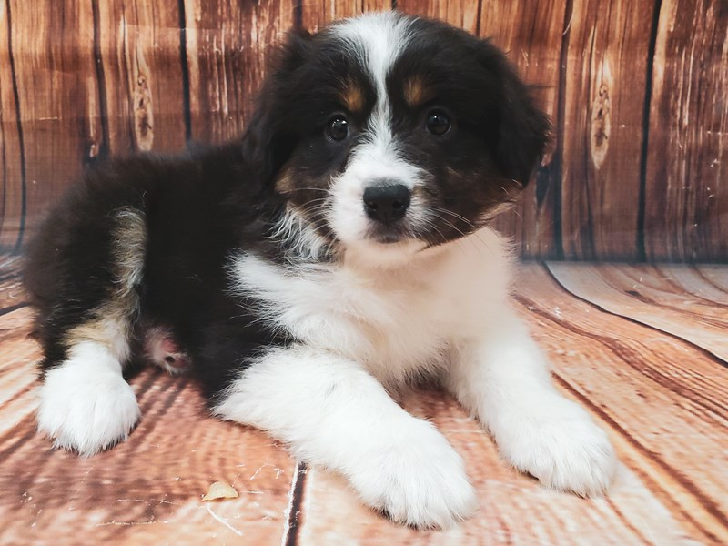 Australian Shepherd-DOG-Female-Black-2897264-Petland Las Vegas, NV
