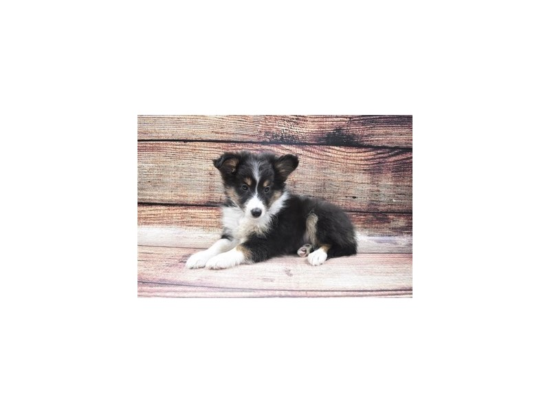 Shetland Sheepdog-DOG-Male-Black and White-2905272-Petland Las Vegas, NV