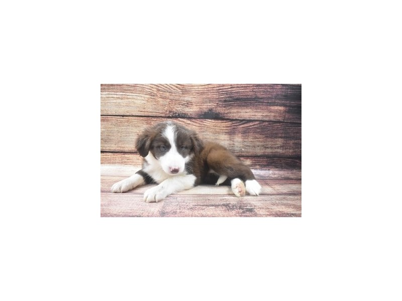 Border Collie-Female-Red and White-2911452-Petland Las Vegas, NV
