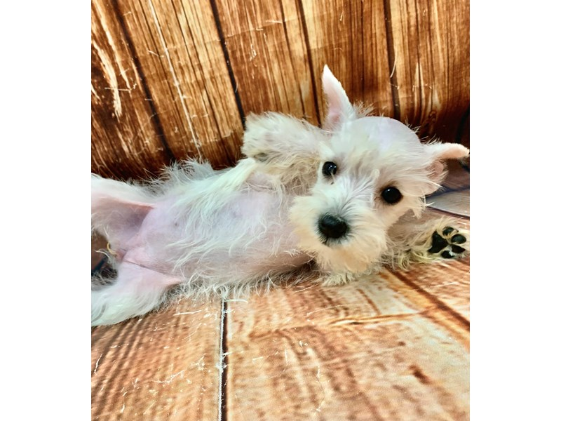 Miniature Schnauzer-Female-White-2913061-Petland Las Vegas, NV